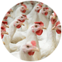 Poultry Farms